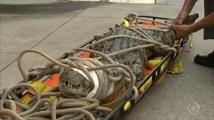 Jacaré de 2 metros é capturado no quintal de casa em Itapetininga