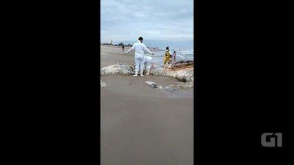 Baleia jubarte é encontrada morta em praia de Pontal do Paraná