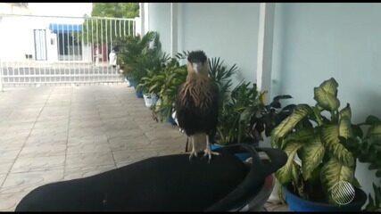 Gavião é encontrado em escritório no bairro de Brasília, em Feira de Santana