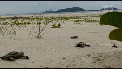 Cinco tartaugas-cabeçudas nascem em Ponta do Paraná