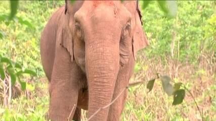 Santuário para elefantes no MT recebe mais animais vítimas de maus tratos