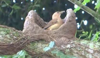Com barro úmido e esterco misturado à palha, a ave cria um ninho em formato de forno