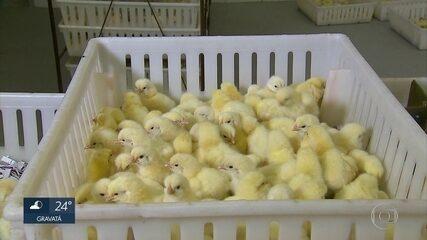 Produtores de aves e ovos estão sem ração para animais em Pernambuco