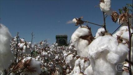 Colheita do algodão está na fase final na Bahia