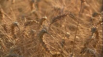 Cultivo de trigo avança no calor do cerrado brasileiro
