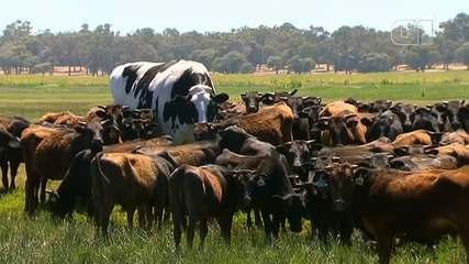 Alteração hormonal é provável explicação para 'boi gigante' da Austrália