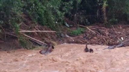 Vídeo mostra gados sendo arrastados por correnteza em Lagoinha