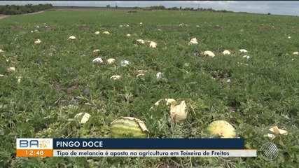 Conheça a melancia 'pingo doce' produzida por agricultor de Teixeira de Freitas