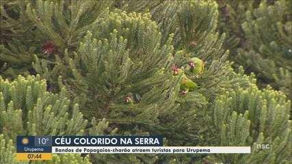 Papagaios-charão e papagaios-de-peito-roxo atraem visitantes em Urupema