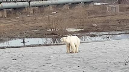 Cansado e com fome, urso polar vagueia em cidade siberiana