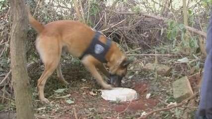 Polícia surpreende avô e neto que plantavam maconha em Chavantes; cão farejador ajudou a localizador drogas enterradas