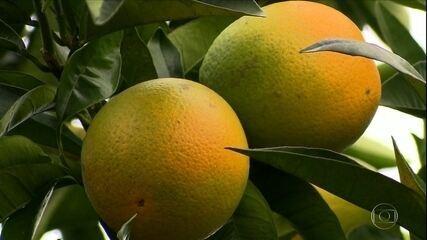 Safra de laranja deve crescer 36% nas principais regiões produtora do Brasil