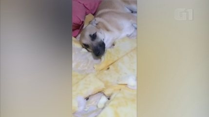 Cachorro viraliza na web com destruição de cama; veja
