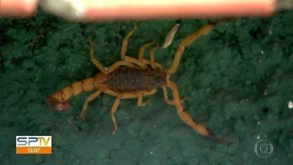 Após morte de criança picada por escorpião, saiba o que fazer se for vítima do animal