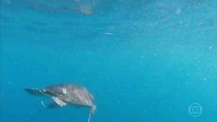 Depois de serem encontradas cobertas de óleo, tartarugas são soltas em Sergipe