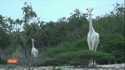 Única girafa branca fêmea do Quênia e o filhote dela são abatidos por caçadores