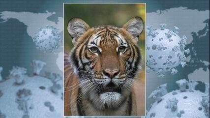Tigre do zoológico de Nova York é infectado com coronavírus