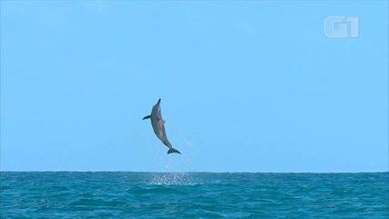 Vídeo mostra golfinhos-rotadores em Fernando de Noronha