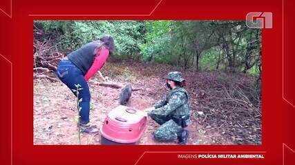 Polícia Ambiental devolve guaxinim à natureza