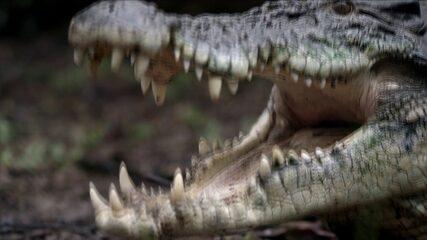 Tradição de risco: indígenas desafiam crocodilos gigantes por um punhado de ovos
