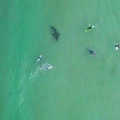 Surfistas se aventuram ao lado de tubarão na África do Sul