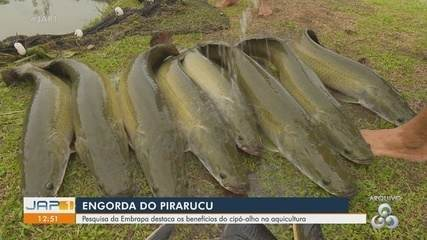 Embrapa do Amapá estuda uso do cipó-alho na aquicultura e engorda do pirarucu
