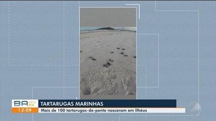 Cerca de 100 filhotes de tartarugas marinhas nascem em Ilhéus, sul do estado