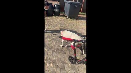 Cão já se adapta à cadeira de rodas