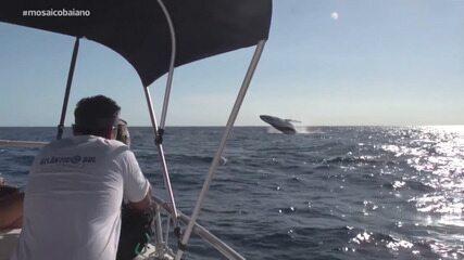 Confira o show do nado das baleias jubartes em Praia do Forte