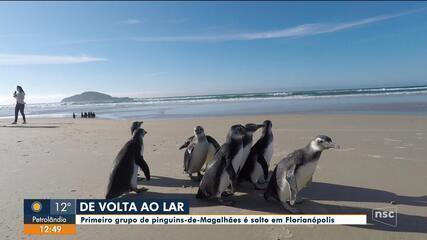 Primeiro grupo de pinguins-de-Magalhães é solto em Florianópolis