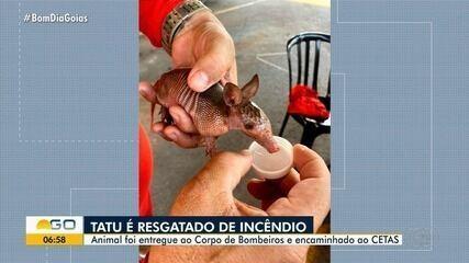 Filhote de tatu é resgatado e entregue aos bombeiros em Goiânia