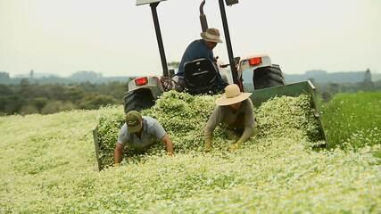 Paraná é considerado maior produtor nacional de plantas medicinais