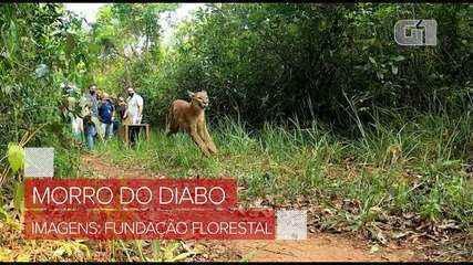 Onça-parda foi solta no Parque Estadual Morro do Diabo