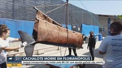 Cachalote transportada com escolta policial morre em Florianópolis