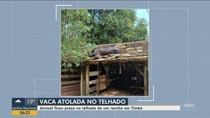 Vaca fica presa no telhado de rancho em Timbó
