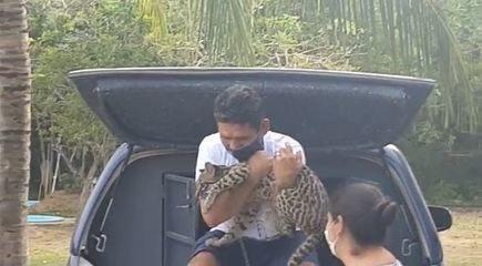 Filhote de gato silvestre é entregue por ribeirinho à Guarda Municipal de Macapá