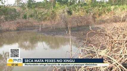 Seca mata peixes no rio Xingu, no Pará