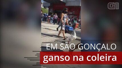 Ganso na coleira chama a atenção nas ruas de São Gonçalo
