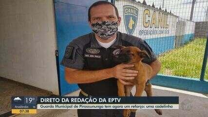 Cadela da raça pastor belga reforça GCM de Pirassununga no combate às drogas