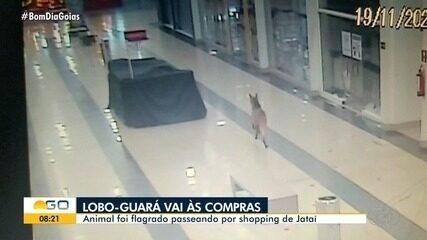 Lobo-guará é visto correndo por shopping em Jataí