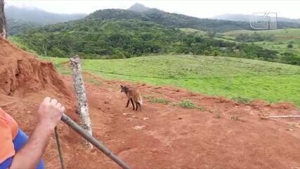 Lobo-guará atacado por cachorro é solto na natureza após passar por tratamento em Miracema