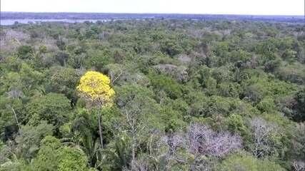 Governo retira o ipê da lista internacional de proteção de espécies ameaçadas