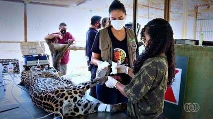 Onças resgatadas no Pantanal recebem tratamento com células-tronco para tratar queimaduras