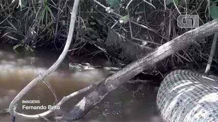 Jornalista flagra sucuri de 7m às margens do rio Sucuriu, em Paraíso das Águas (MS).