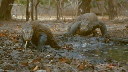 'Bichos espiões' revelam segredos do mundo animal entre a ilha de Komodo e o Alasca