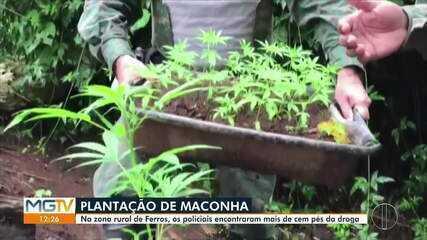 Plantação de maconha é descoberta na zona rural de Ferros