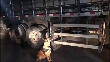Cadela Charlotte, do BPCães, da PMDF, localizou 2,5 toneladas de maconha em uma carreta, em 2018, além de uma pistola e um fuzil