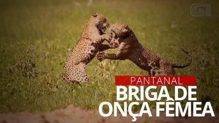 Onça fêmea 'briga' com outra felina para defender filhotes no Pantanal de MS