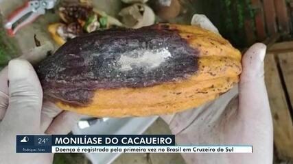 Praga que atinge plantio de cacau é registrada pela primeira vez no Brasil em Cruzeiro