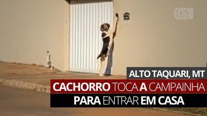 Cachorro toca a campainha para avisar aos donos que chegou em casa
